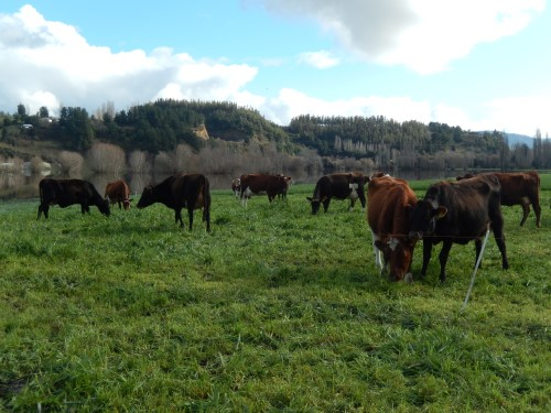 vaches-